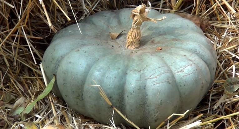 Фото тыквы сорта Джаррахдаль