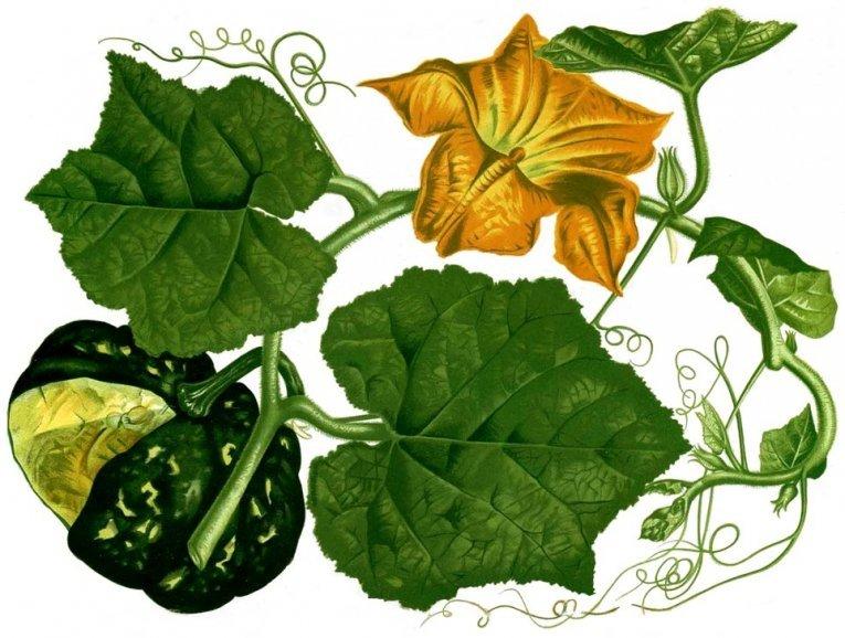 рисунок растения тыквы