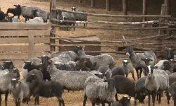 бизнес-план по разведению овец