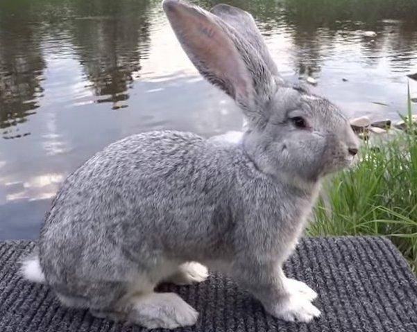 фотография породистого кролика