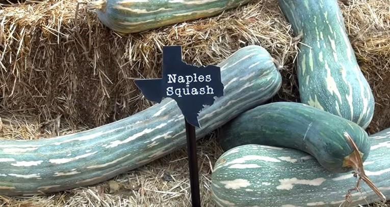 фото сортовой тыквы