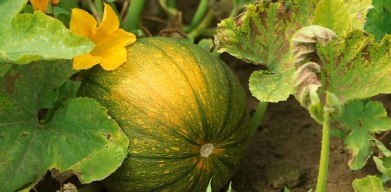 фото тыквы
