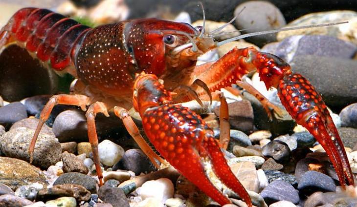 фото красного болотного рака