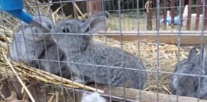 крольчата лучшей породы серый великан