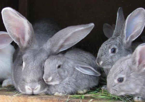 крольчата породы шиншилла с крольчихой