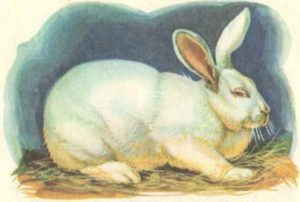 кролик новозеландский белый