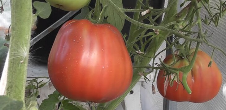на фото сорт крупных помидор