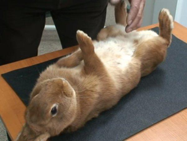 кролик французской мясной породы