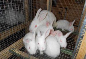 Новозеландские белые кролики в клетке