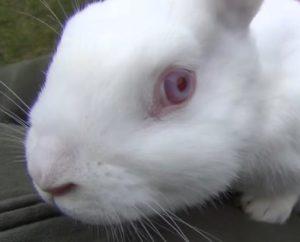 новозеландский кролик - альбинос