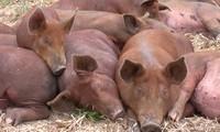 о свиноводстве России