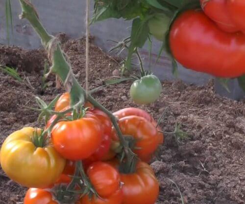 крупные красные помидоры