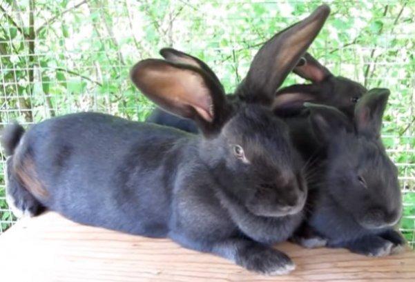 порода кроликов фото - Венский голубой