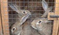 описание породы кроликов