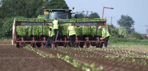 выращивание тыквы - посадка