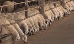 проект овцефермы в Дагестане