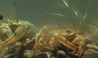 раки в реке