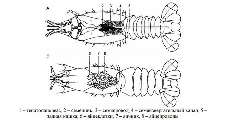 репродуктивная система самца и самки раков