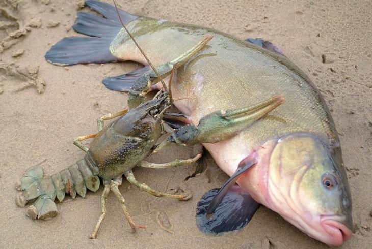речной рак и рыба