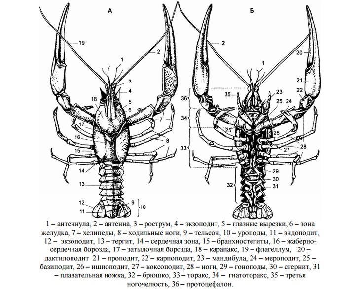 строение рака длиннопалого