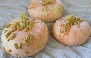 вкуснейший сорт тыквы Galeux d'Eysines
