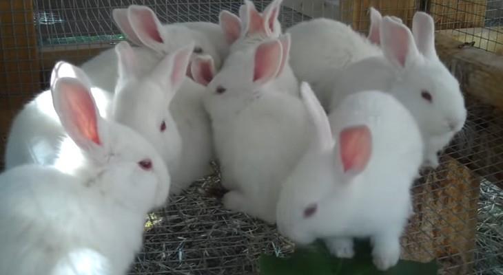 новозеландские крольчата